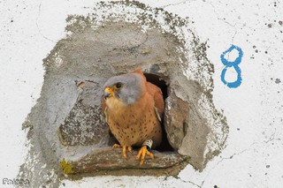 Here a Lesser Kestrel Falco naumanni sits at one o...